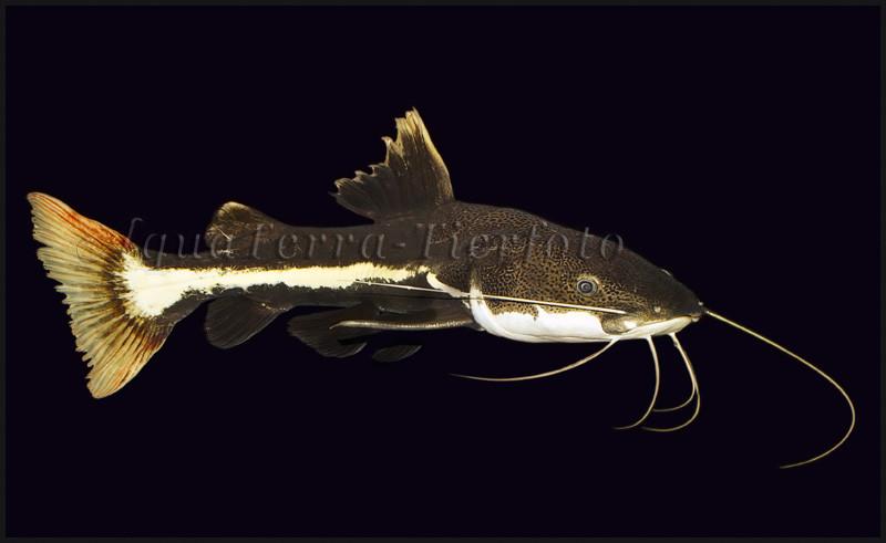 Phractocephalus hemioliopterus_3342 x 2052 px