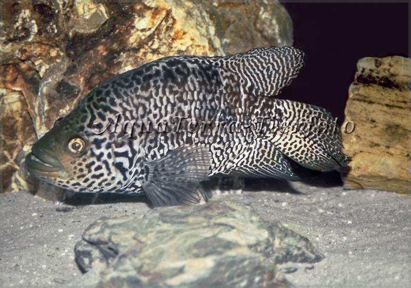Parachromis managuensis_3287 x 2281 px