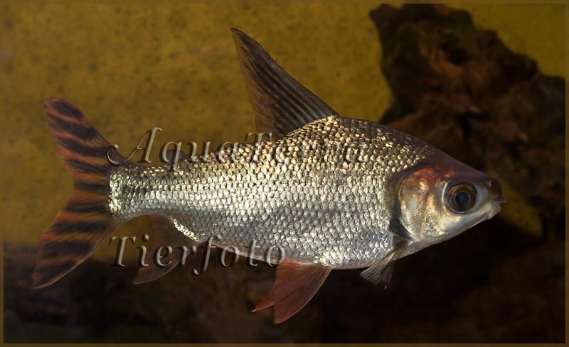 Semaprochilodus sp. 2_3463 x 2116 px