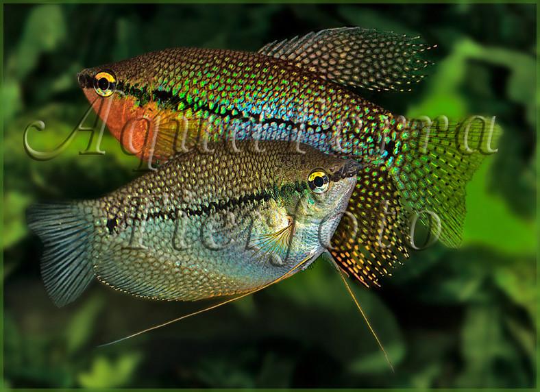 Trichogaster leerii (Mosaikfadenfisch)_1662 x 1223 px