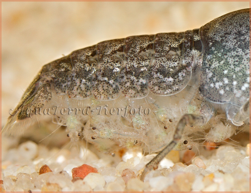 Cambarelleus ninae (geschlüpfte Larven)_2157 x 1661 px