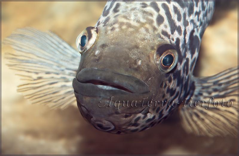 Parachromis managuensis_3330 x 2179 px