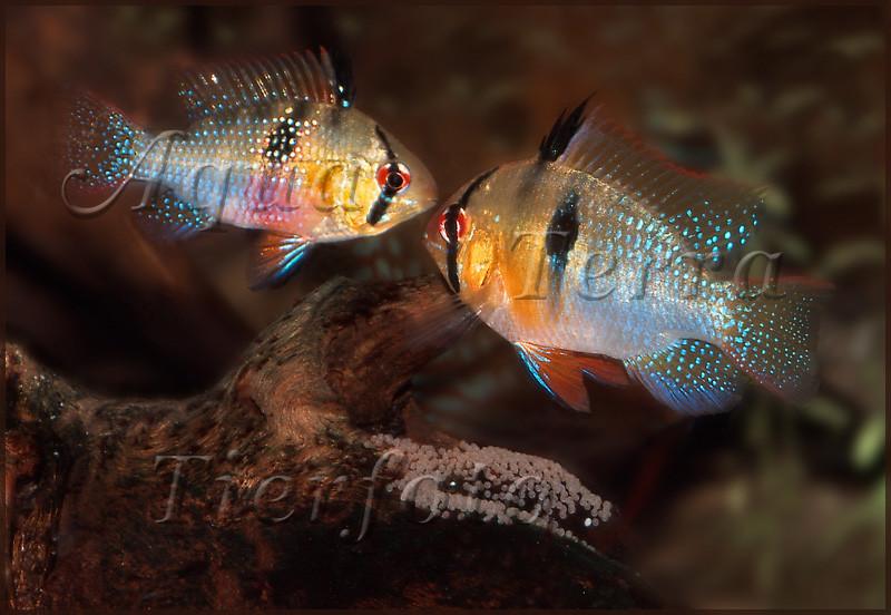 Mikrogeophagus ramirezi  (Schmetterlingsbuntbarsch-Paar mit Gelege)