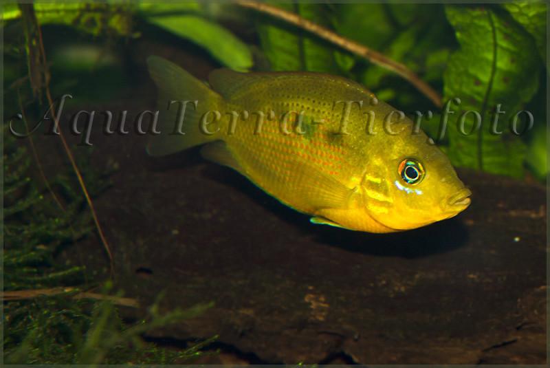 Etroplus maculatus(2) (Männchen)_2928 x 1957 px