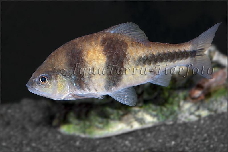 Puntius lateristriga (Schwanzbandbarbe, T-Barbe)_3504 x 2336 px