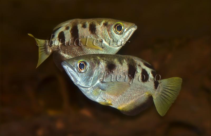 Schützenfische_2317 x 1492 px [RP]