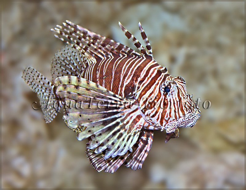 Pterois sp. (Feuerfisch) 2_2949 x 2284 px [RP]