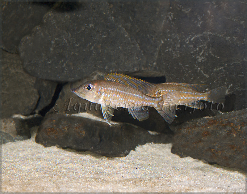 Gnathochromis_permaxillaris_2689 x 2107 px