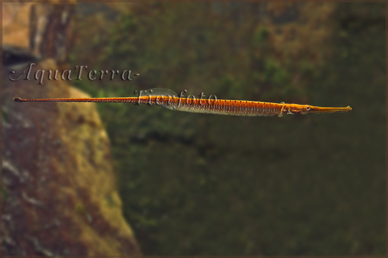 Microphis lineatus (Süßwassernadel)_5184 x 3456 px [RP]