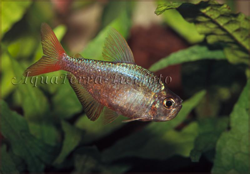 Hyphessobrycon columbianus (Blauroter Kolumbiensalmler)_3162 x 2202 px