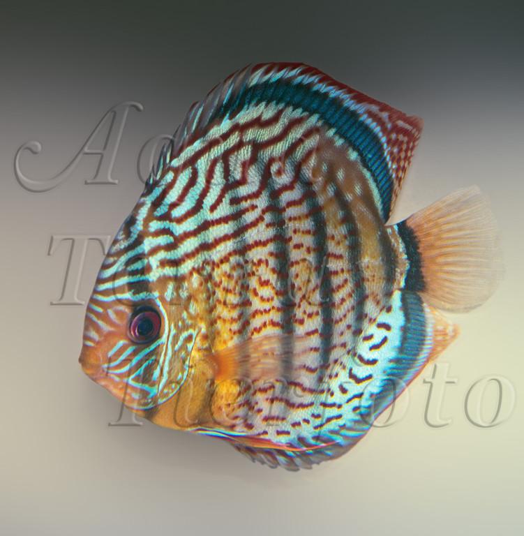 Symphysodon aequifasciatus (Diskus) (1)_2895 x 2961 px