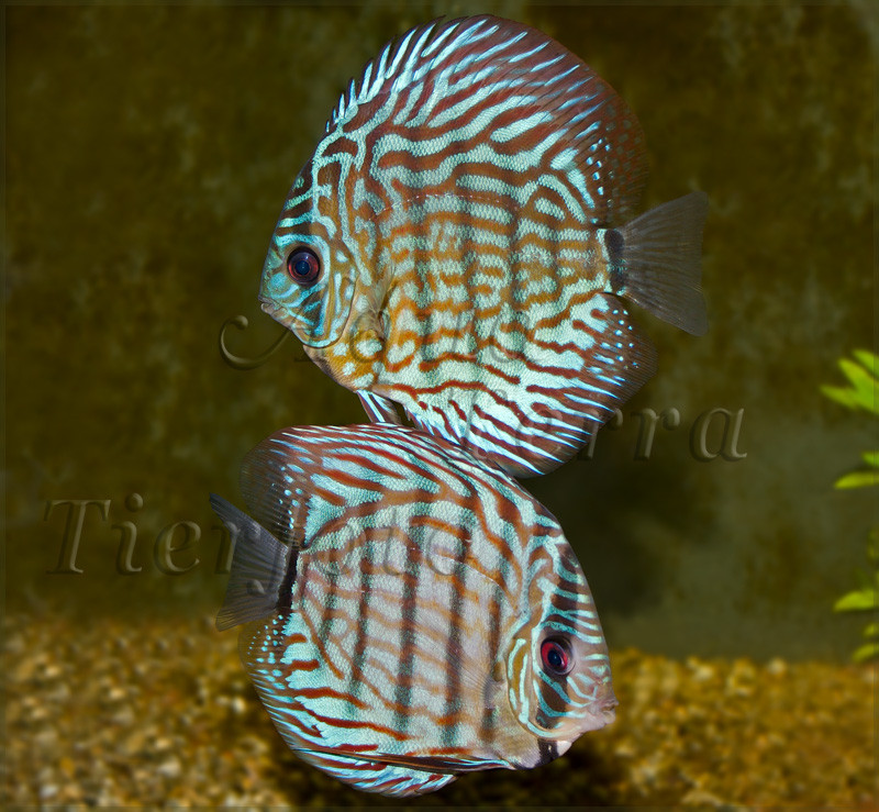 Symphysodon aequifasciatus (Diskus) (3)_2528 x 2336 px