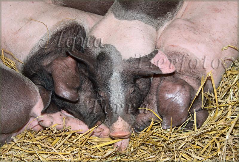 Schweine1_3504 x 2336 px [RP]