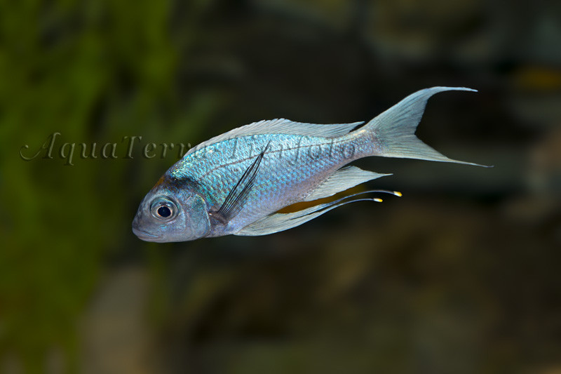 Ophthalmotilapia ventralis (Fadenmaulbrüter)_1588 x 1058 px