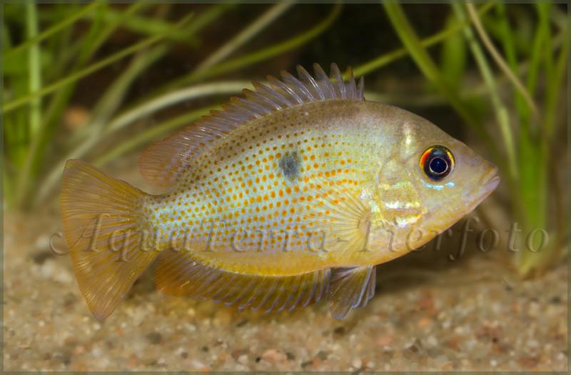 Etroplus maculatus (Weibchen)_3238 x 2124 px