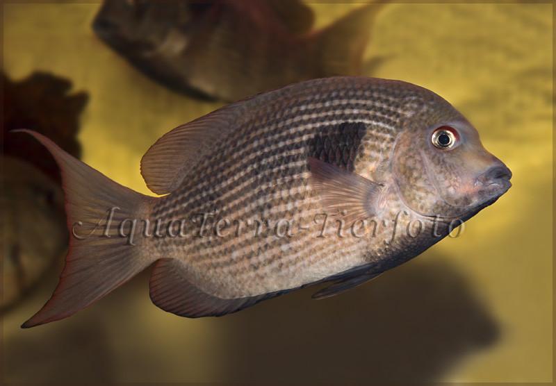 Paretroplus maculatus (Madagaskarbuntbarsch)_3364 x 2336 px