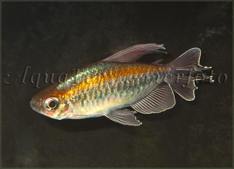 Phenacogrammus interruptus (Kongosalmler)_1178 x 855 px