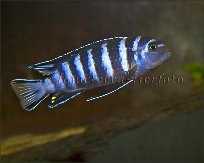 Pseudotropheus elongatus_2737 x 2196 px