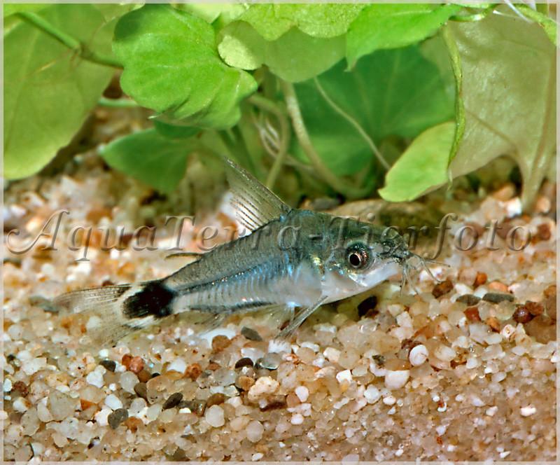 Corydoras hastatus_1812 x 1503
