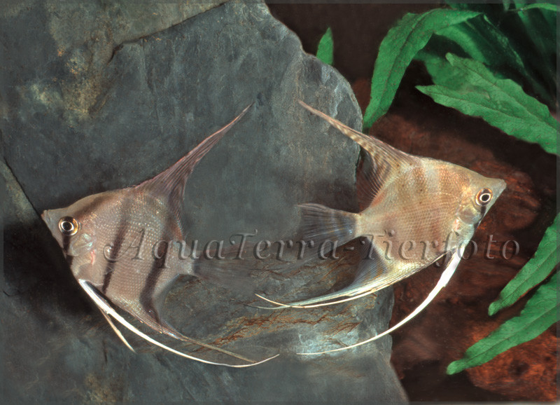 Pterophyllum scalare (Zuchtform)_2944 x 2128 px
