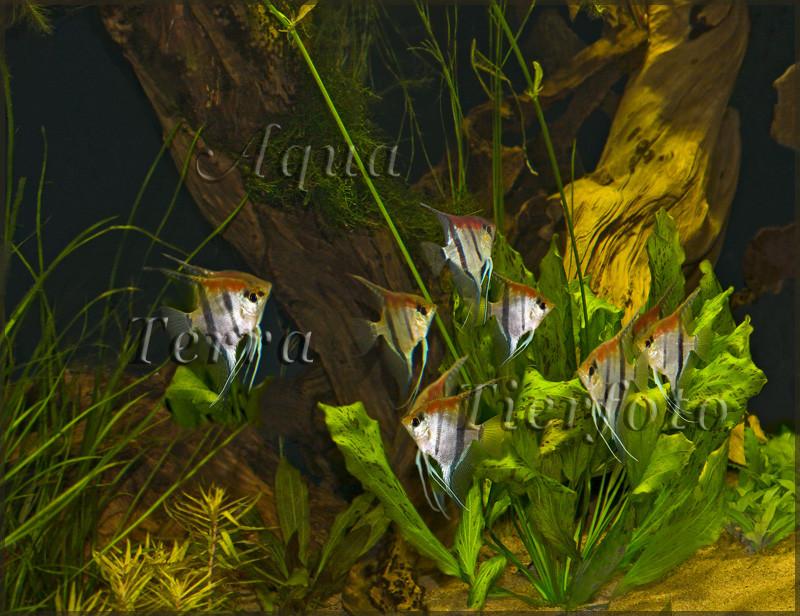 Pterophyllum (Gruppe Rotrückenskalare)_3034 x 2336 px