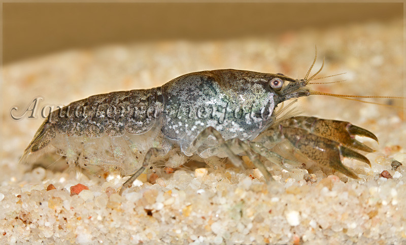 Cambarellus ninae (Zwergflusskrebs-Weibchen mit geschlüpften Jungtieren=)_4884 x 2948 px