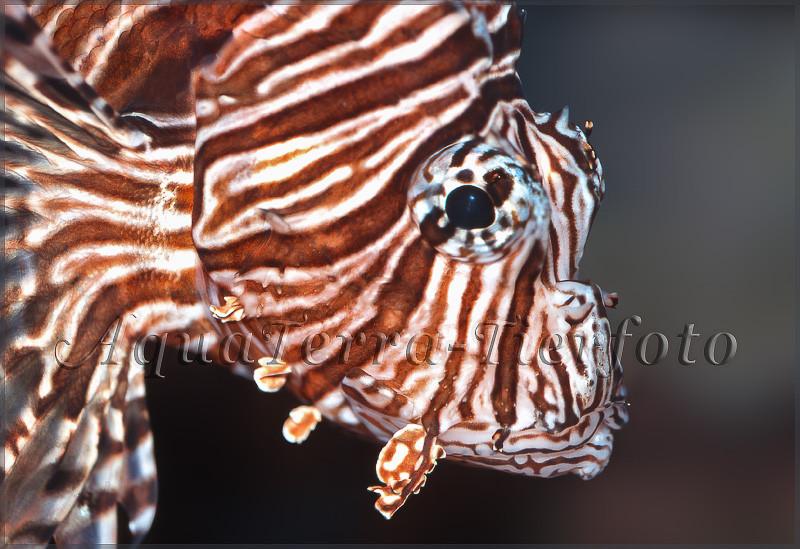 Pterois sp. (Feuerfisch Kopfportrait)_3259 x 2235 px
