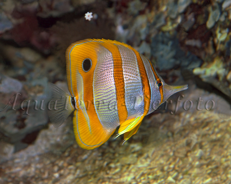 Chelmon rostratus (Orangebinden Pinzettfisch)_2433 x 1942 px
