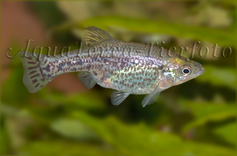 Ameca splendens Weibchen_3196 x 2101 px