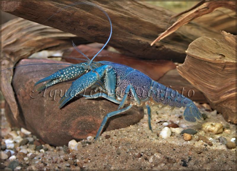 Procambarus alleni (Blauer Florida Krebs)_3244 x 2336 px