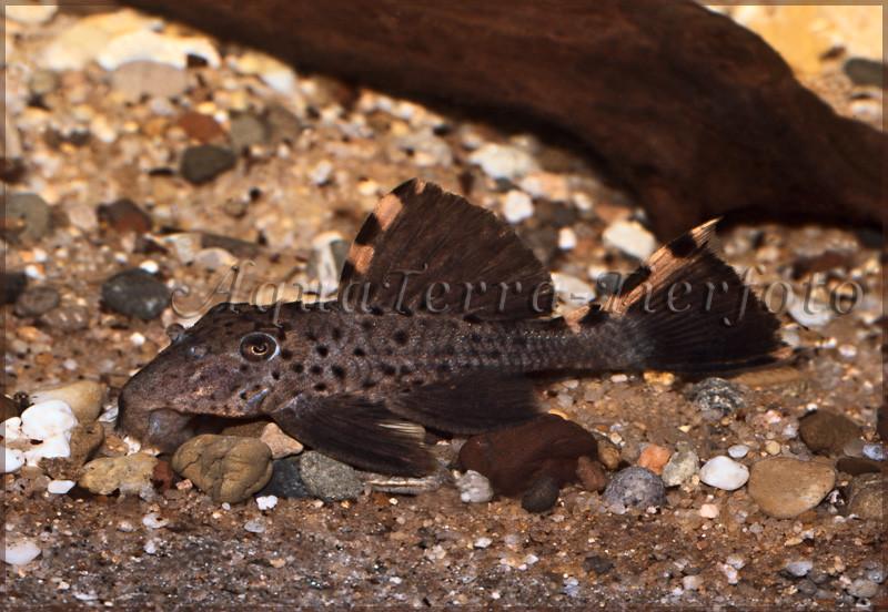 Leporacanthicus triactis _3247 x 2127 px