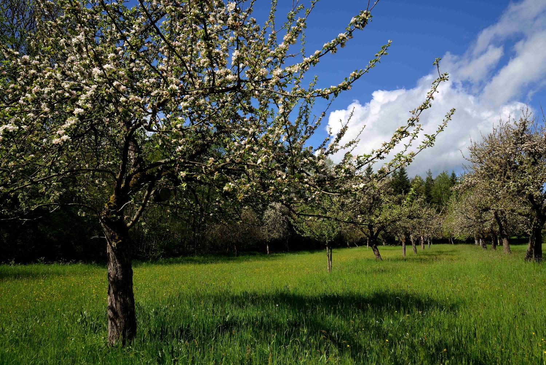 Frühjahr mit blühenden Apfelbäumen in der Stellenklinge
