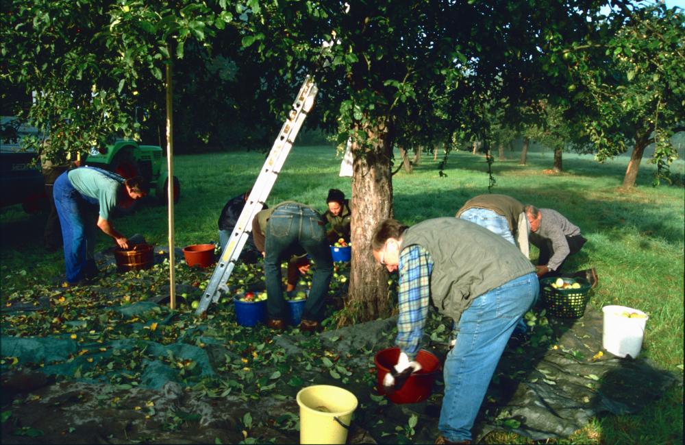 Fleißige Helfer bei der Apfelernte
