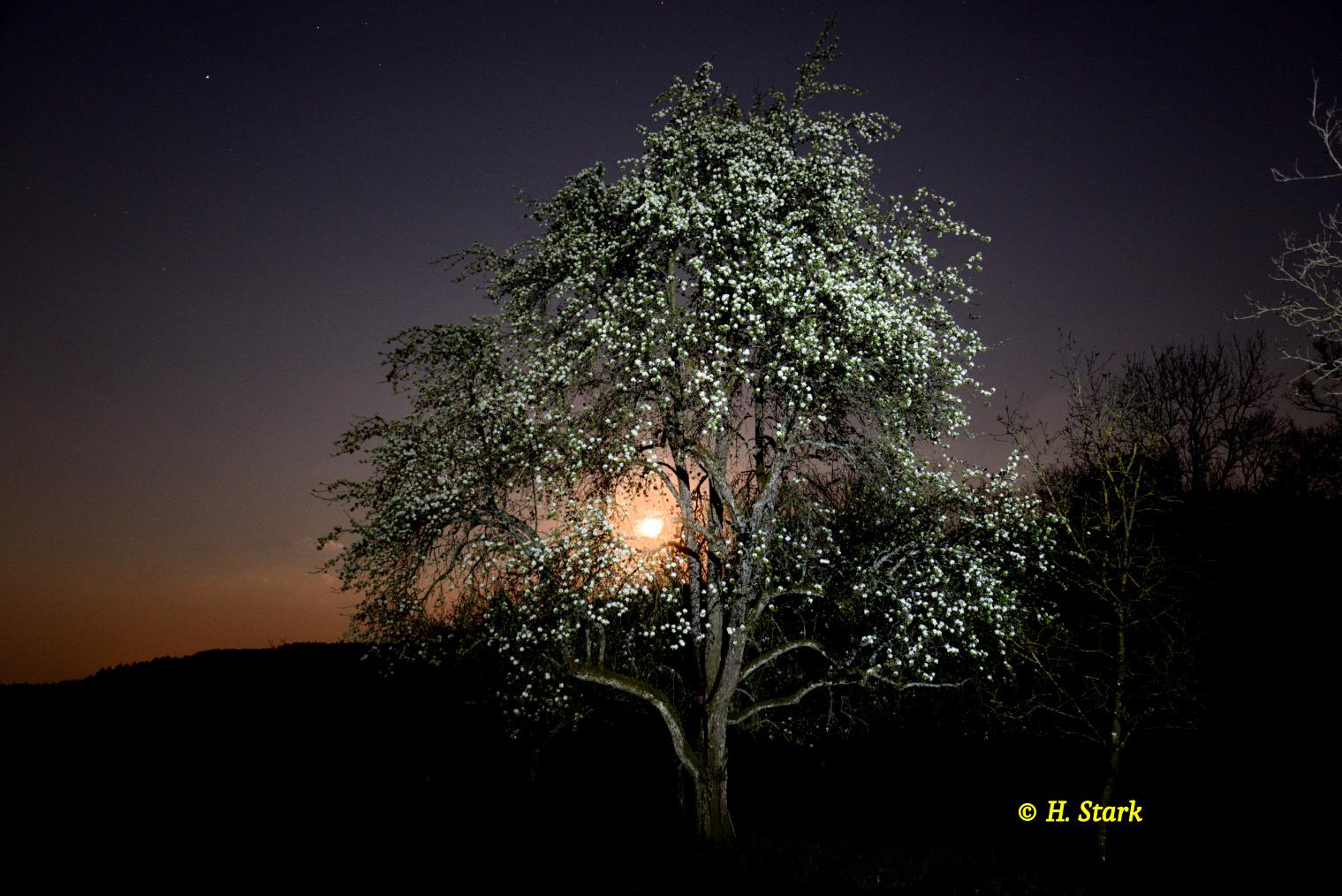Großer Birnbaum Stellenklinge bei Vollmond