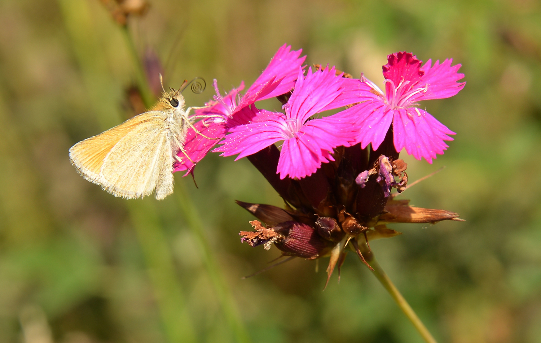 Karthäusernelke mit Schmetterling auf dem Spitzenberg