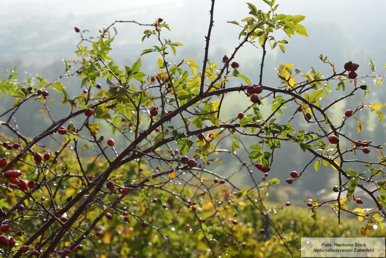 Hagebutte auf dem Spitzenberg im Herbst