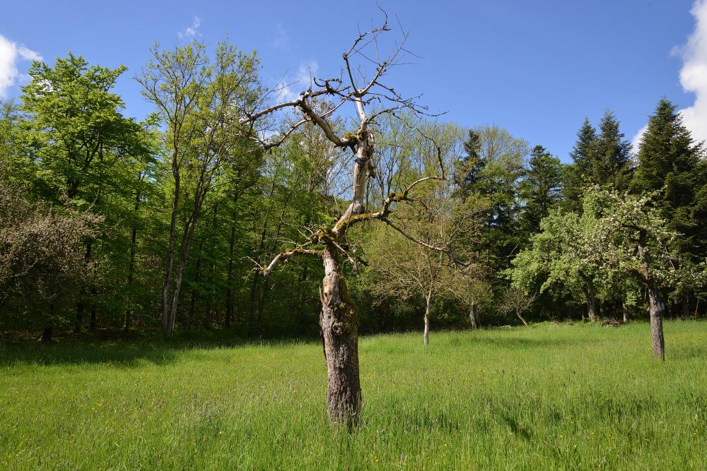 Toter Baum für Insektenunterkunft und Greifvogelansitz