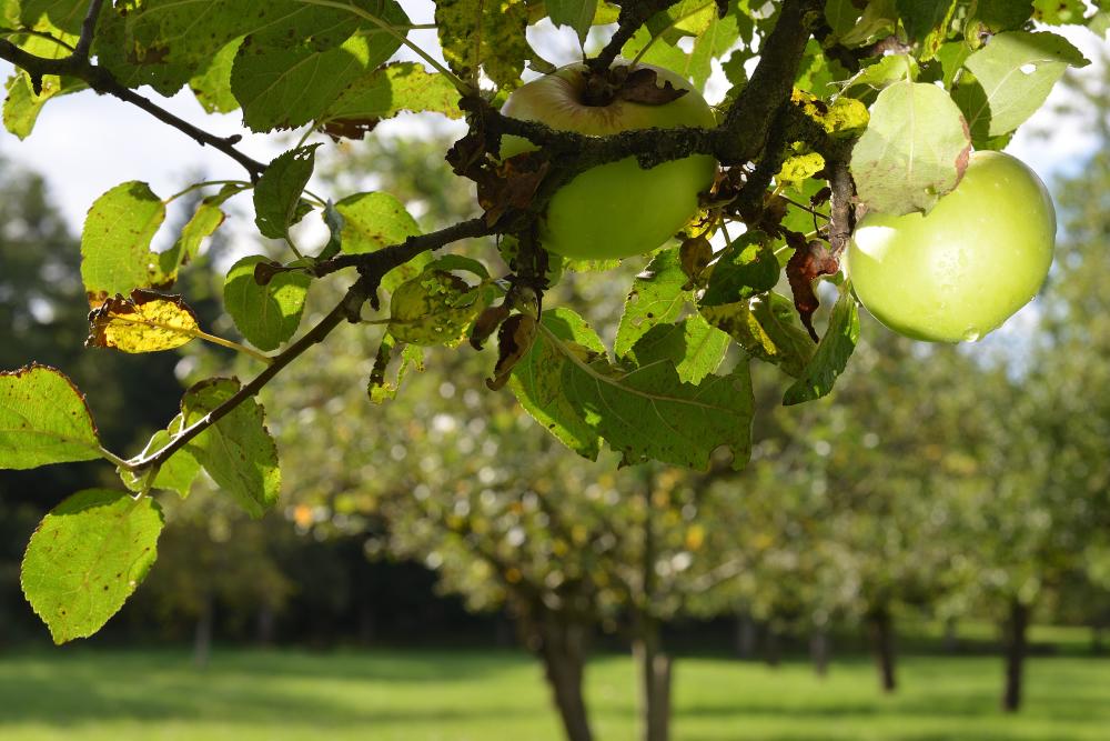 Herbst - Zeit für die Apfelernte