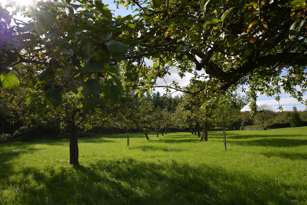 Kurz vor der Apfelernte