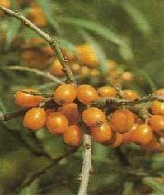 Die Früchte des Sanddorns bieten viel Vitamine, auch für den Menschen