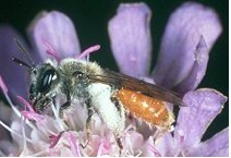 Solitäre Biene: Andrena marginata