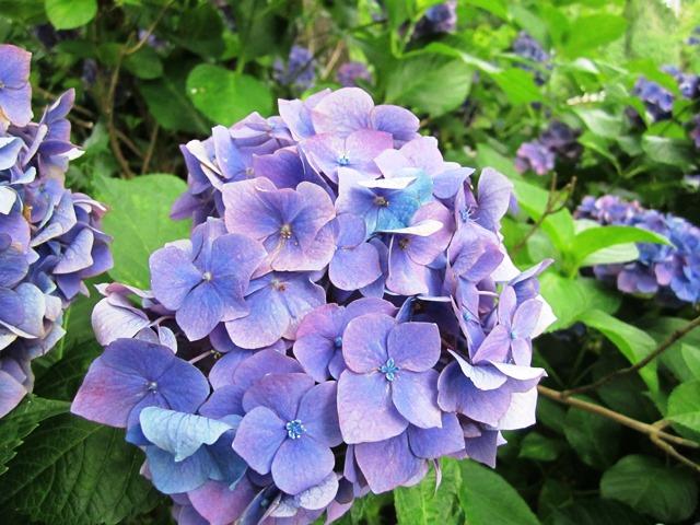 見頃もピーク 暑さの中、咲き切る姿は あきらめない姿にも感じます