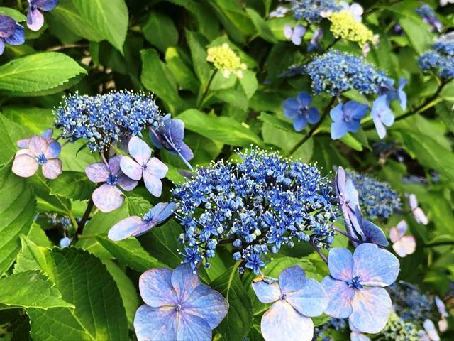 美しき青色を放つ紫陽花