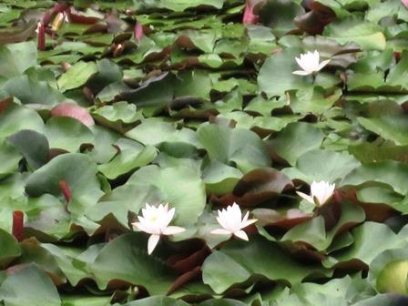 博物館前の長沼にはきれいな蓮の花