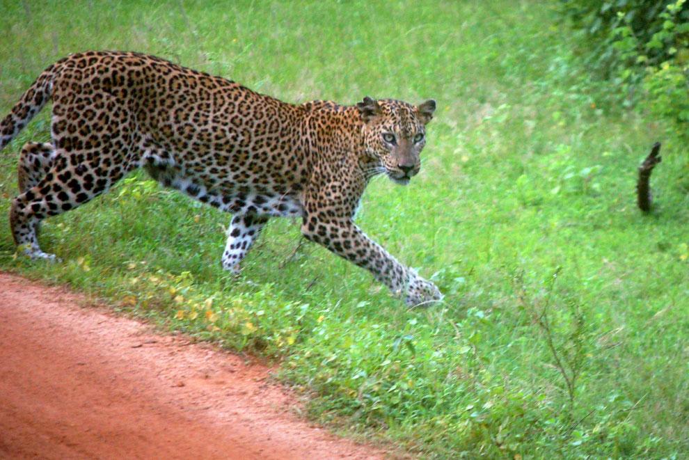 Sri Lanka Reise - Safari