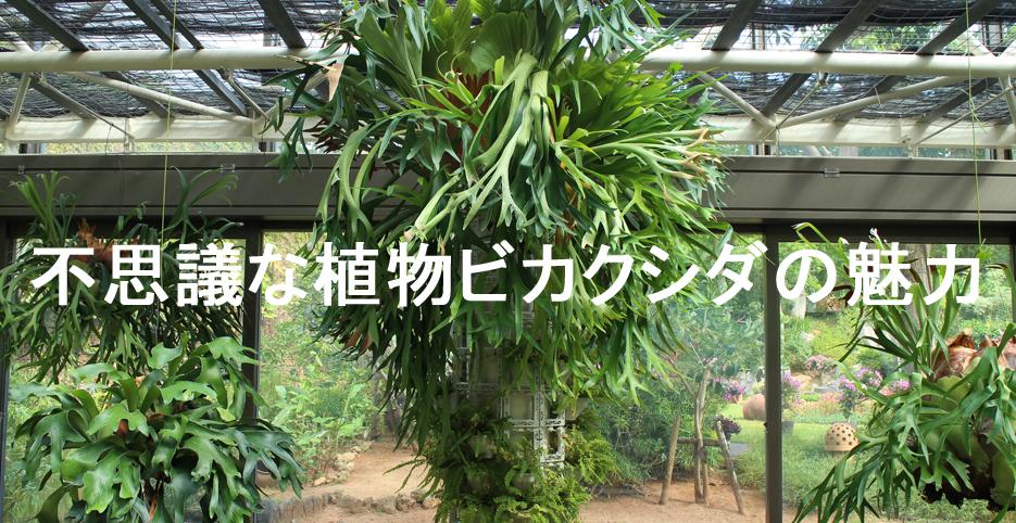 不思議な植物ビカクシダの魅力※随時更新