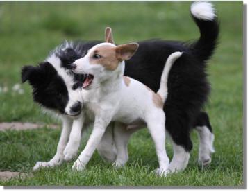 zwei, die sich mögen - Boder Collie Finn & Parson Russel Terrier Henry