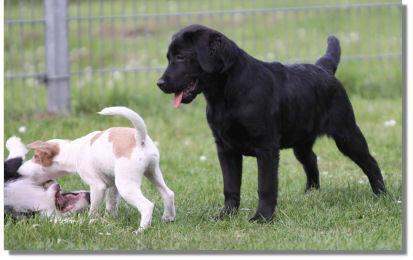 Was machen die denn da?  Labrador Retriever Rico wartet auf seinen Einsatz