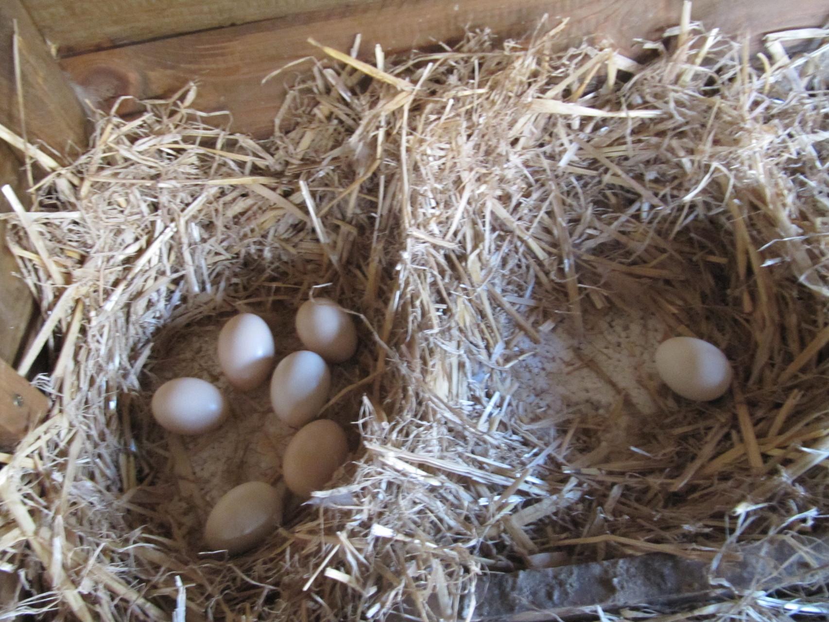 Luna hat sich alle Eier geholt. Frau Krause sitzt nur noch auf einem. Darunter ist Styropor- so ist es schön warm!