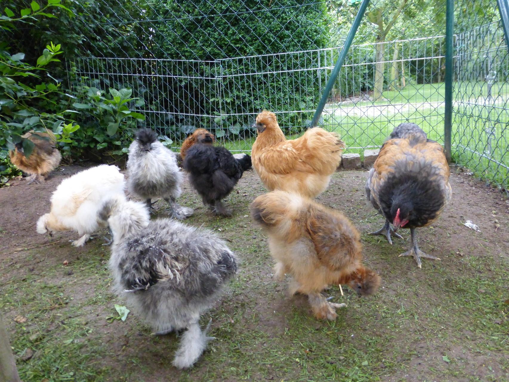 Die ersten beginnen zart zu krähen. Es sind 3 Hühner und 4 Hähne.
